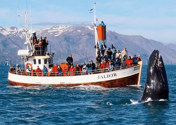 velryby-Husavik