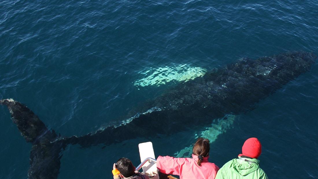 Pozorování velryb z Húsavíku