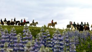 Exkurze na islandských koních