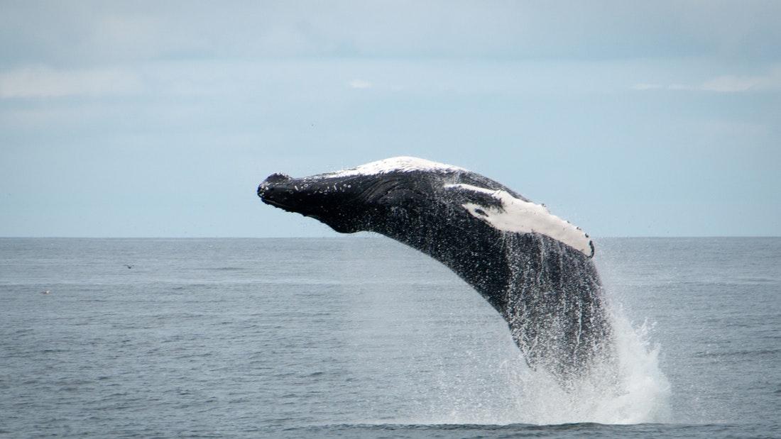 Pozorování velryb z Reykjavíku