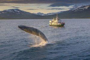 exkurze na velryby akureyri