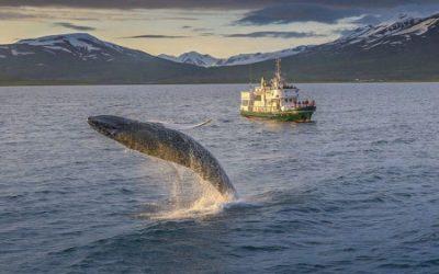 Velryby v Akureyri