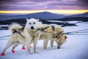 Exkurze na psím spřežením