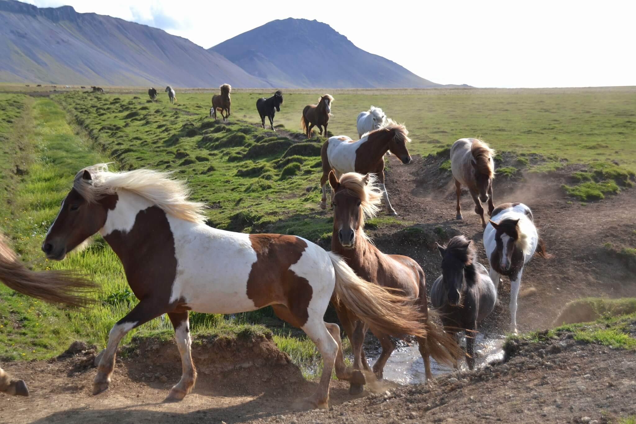 Islanské koně