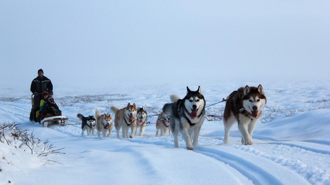 Psí spřežení na severu Islandu