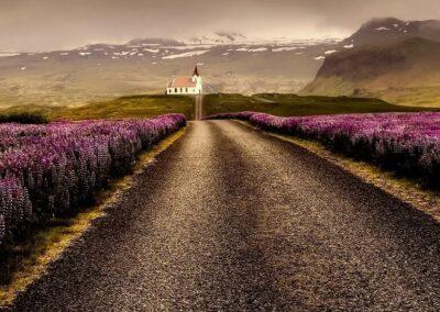 Silnice na Islandu lupina